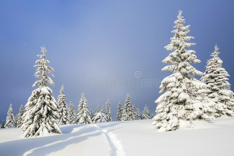 Amazing landscape on the cold winter day. Pine in the snowdrifts. On the lawn covered with snow there is a trodden path leading.  stock images