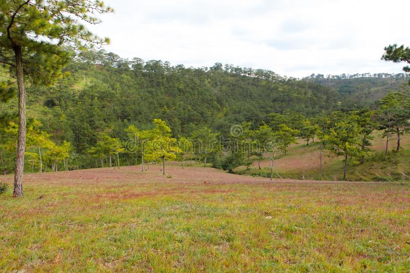 Amazing landscape at Da lat Vietnam at evening, people grazing cows on meadow among pine forest, pink grass hill contrast with. Green tree make wonderful scene royalty free stock photography