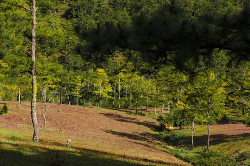 Amazing landscape at Da lat Vietnam at evening, people grazing cows on meadow among pine forest, pink grass hill contrast with. Green tree make wonderful scene stock photography