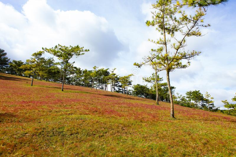 Amazing landscape at Da lat Vietnam at evening, people grazing cows on meadow among pine forest, pink grass hill contrast with. Green tree make wonderful scene royalty free stock photos