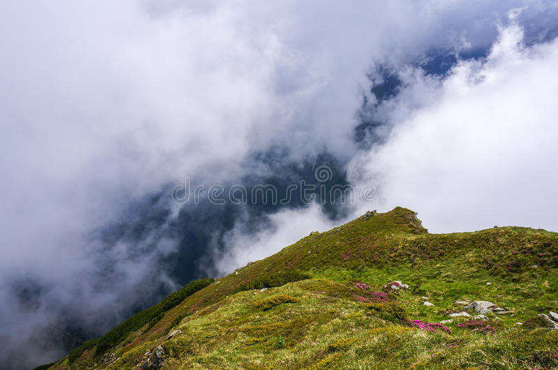 Download Amazing Landscape With Pink Rhododendron Flowers On The Mountain, In The Summer. Stock Photo - Image: 32639538