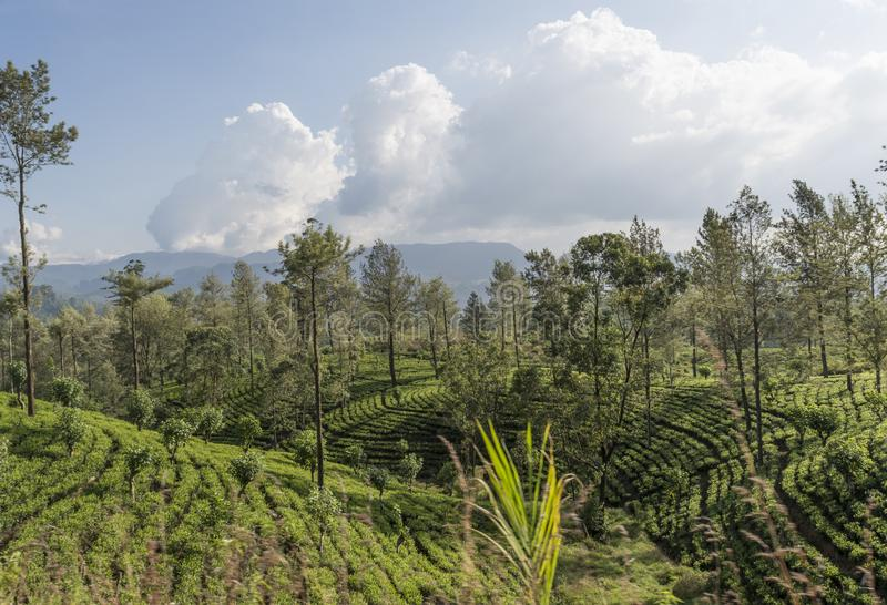 Amazing landscape view of the tea plantations during sunny day stock image