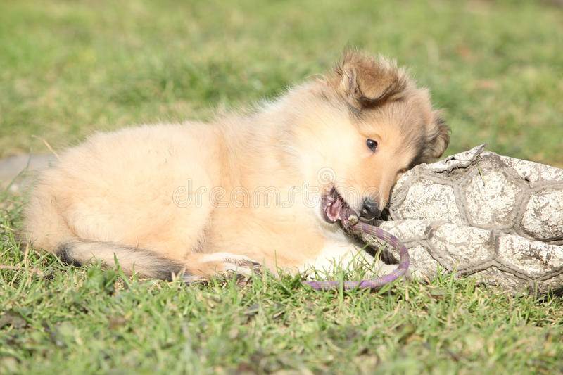 Amazing little puppy of Scotch collie lying. In the garden royalty free stock photo