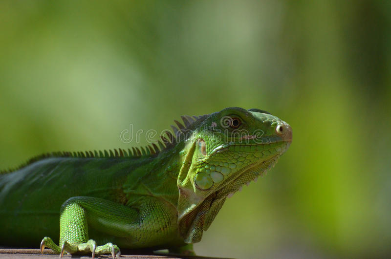 Amazing Look at a Common Iguana royalty free stock images