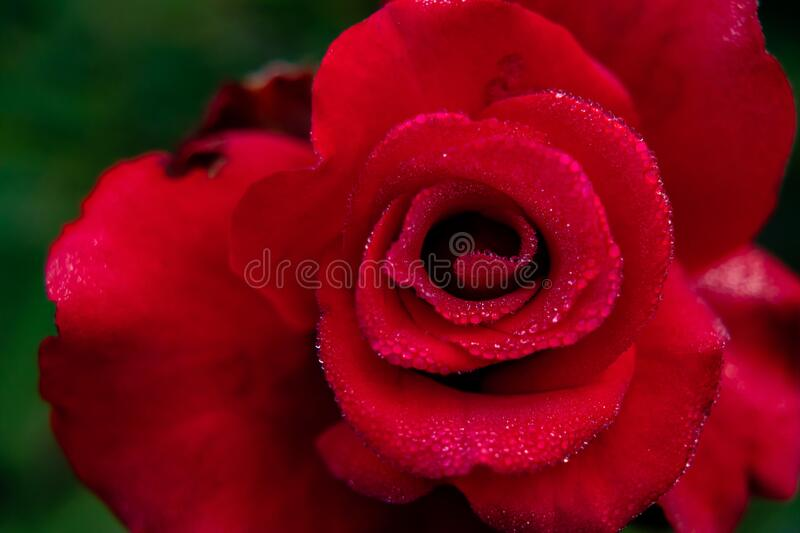 Amazing macro photography of red rose with dew drops on petals in the garden. nature and winter concept royalty free stock photos