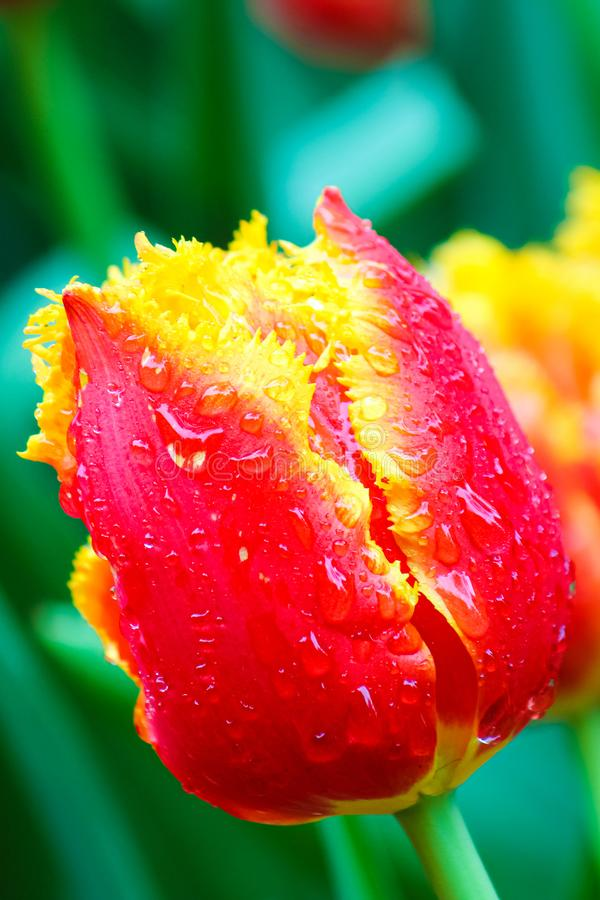 Amazing macro photography of red yellow tulip with rain drops. Blurred green leaves and other colorful tulips in background. stock photos