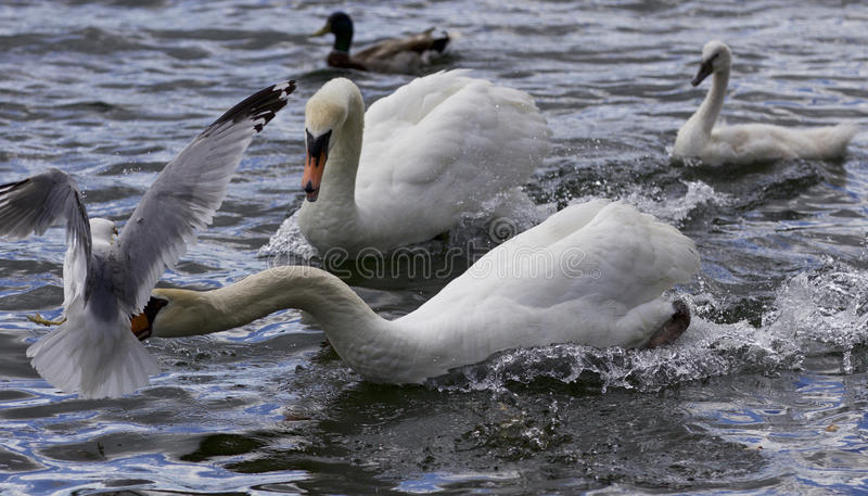 Amazing moment with a swan caught a gull royalty free stock photography