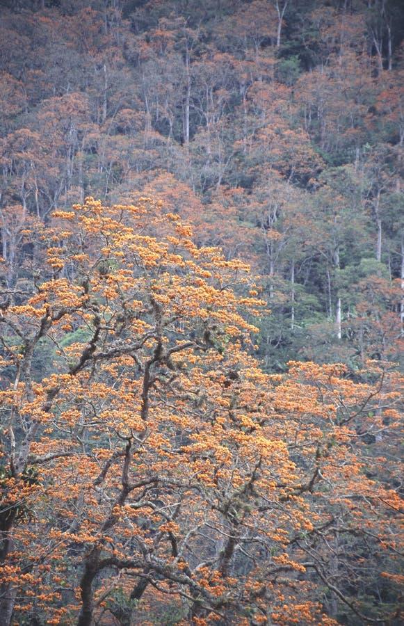 Amazing mountain forest covered with Erythrina poeppigiana tree species blossom emblematic venezuelan tree. Eudicots, tropics. royalty free stock photo