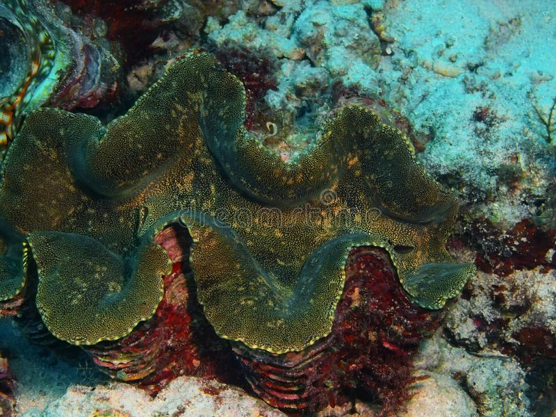 Clam. The amazing and mysterious underwater world of Indonesia, North Sulawesi, Bunaken Island, clam stock photos