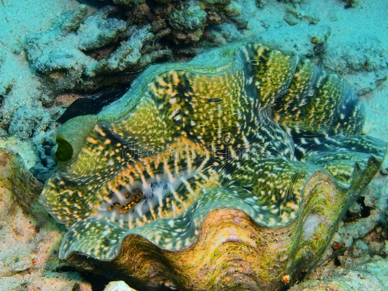 Clam. The amazing and mysterious underwater world of Indonesia, North Sulawesi, Bunaken Island, clam stock images