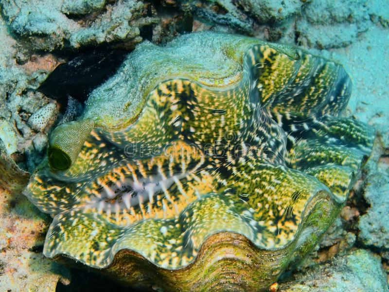 Clam. The amazing and mysterious underwater world of Indonesia, North Sulawesi, Bunaken Island, clam royalty free stock photos