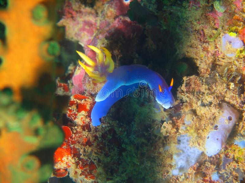 True sea slug. The amazing and mysterious underwater world of the Philippines, Luzon Island, Anilаo, true sea slug royalty free stock photos