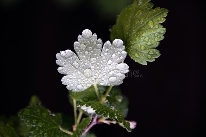 Amazing nature. Dew drops after rain. Gooseberry leaves. Water and plants. stock photos