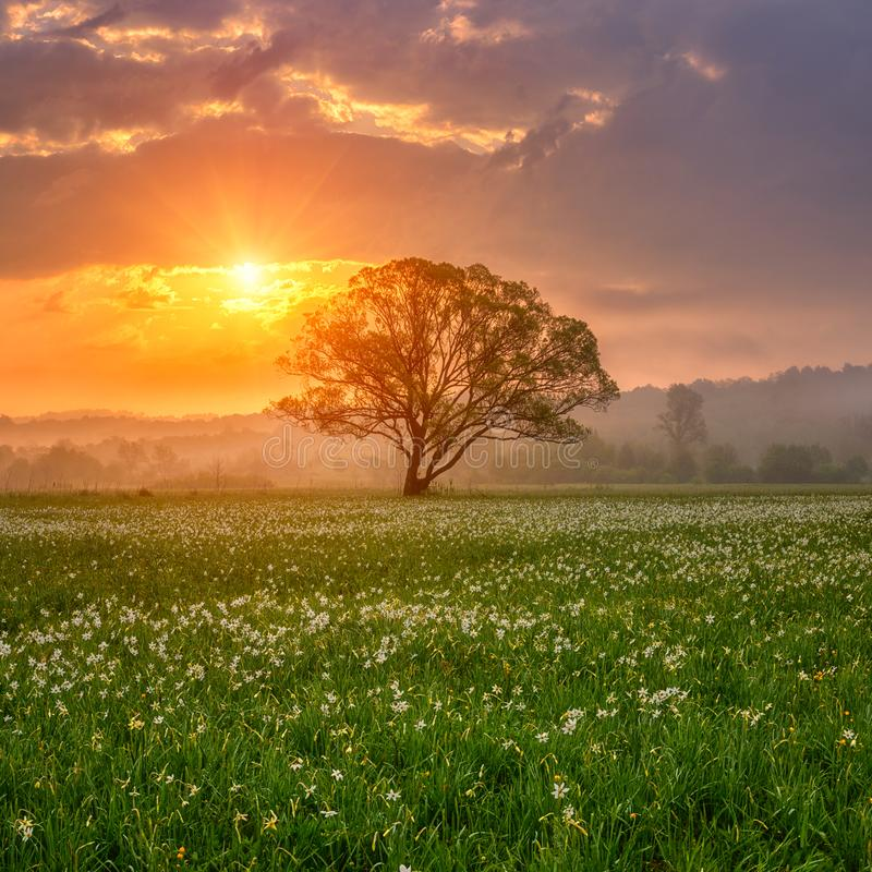 Amazing nature landscape with single tree and flowering meadow of white wild growing narcissus flowers in morning dew at sunrise stock images