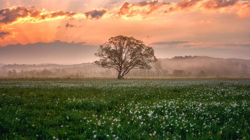 Amazing nature landscape with single tree and flowering meadow of white wild growing narcissus flowers in morning dew at sunrise stock photos