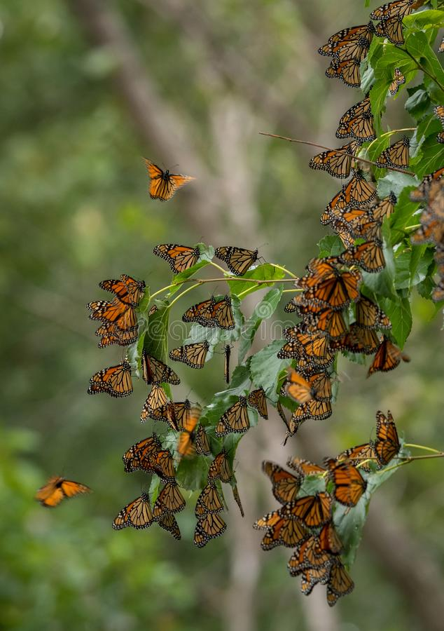 Amazing Nature; the Monarch Butterfly royalty free stock photography