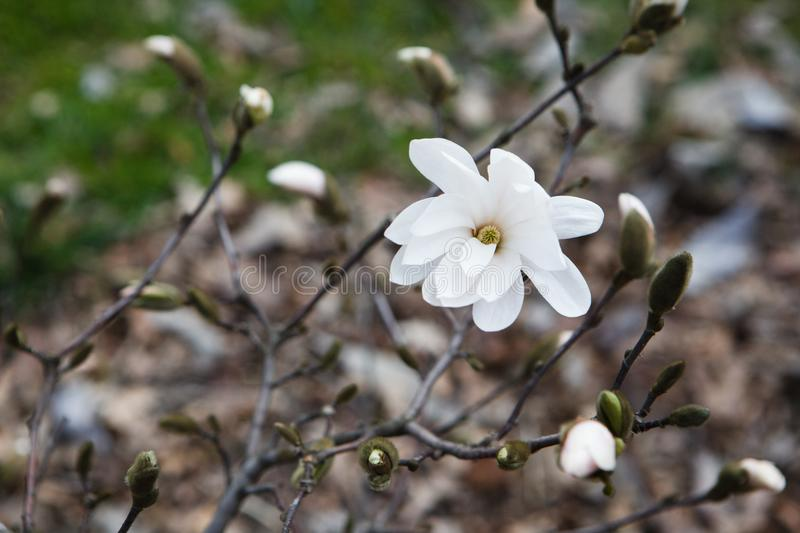 Amazing nature of white magnolia under sunlight at the middle of summer or spring day. royalty free stock photo