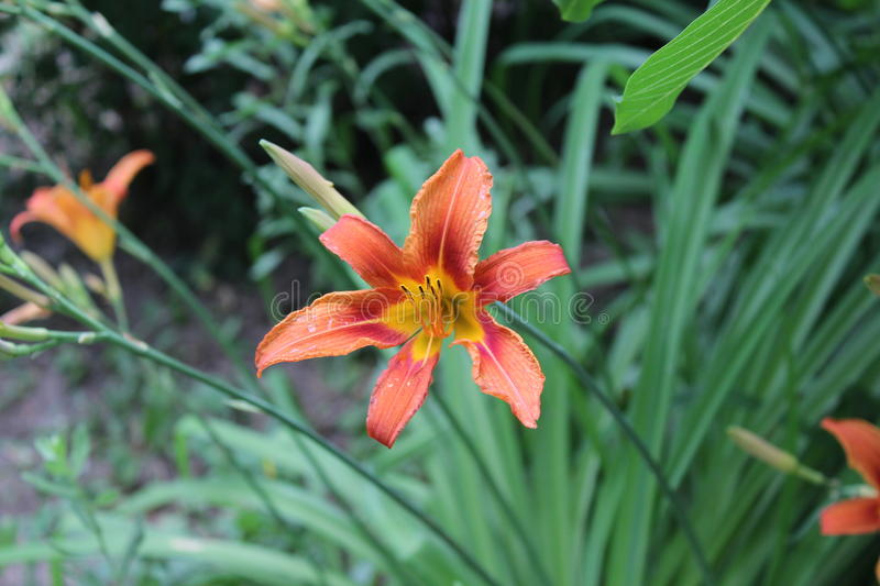 Amazing orange lily blossomed in the field. stock photo
