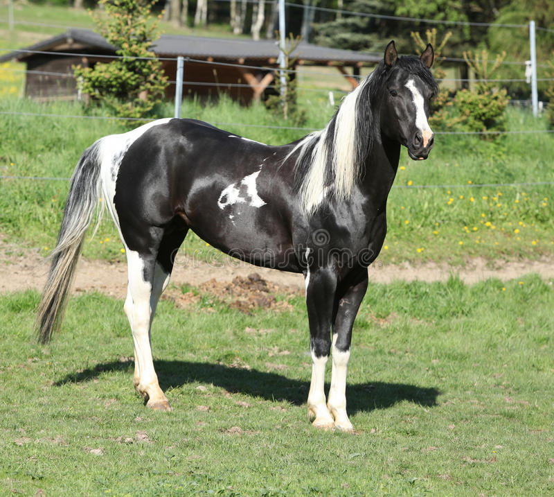 Free Amazing Paint Horse Stallion Looking At You Stock Photography - 40394442