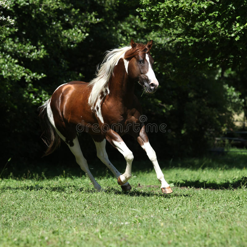 Free Amazing Paint Horse Stallion Running Stock Photography - 76522072
