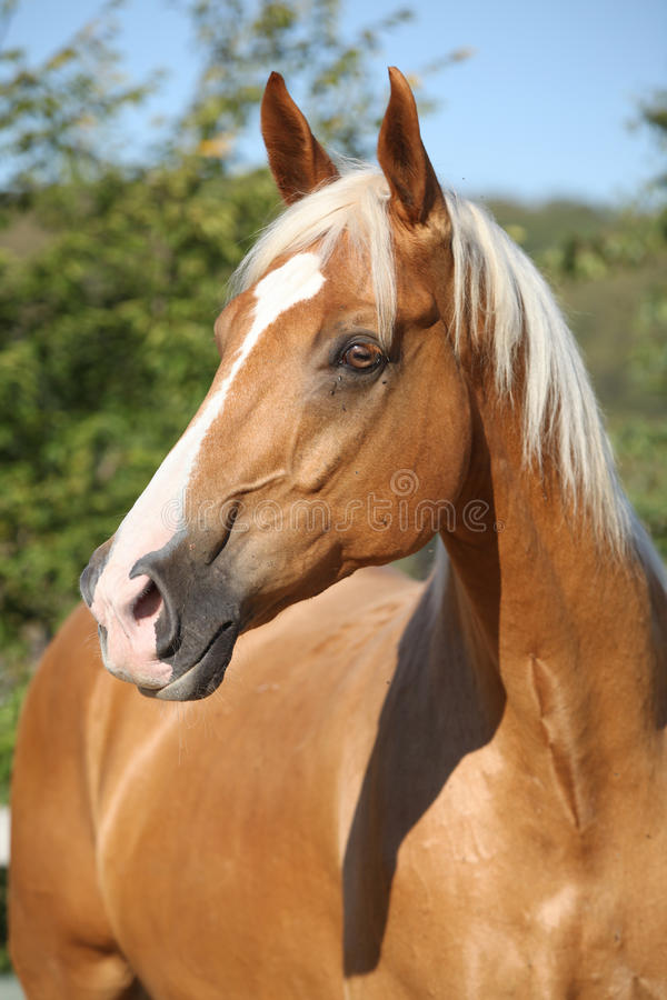 Amazing palomino horse with blond hair royalty free stock photo