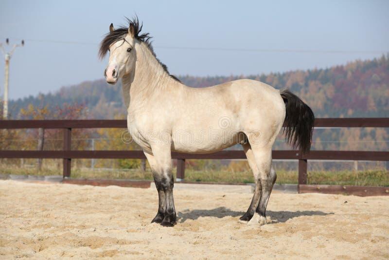 Amazing palomino welsh cob stallion with black hair. In autumn royalty free stock photo