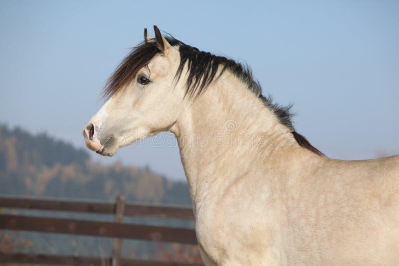 Amazing palomino welsh cob stallion with black hair. In autumn stock photos