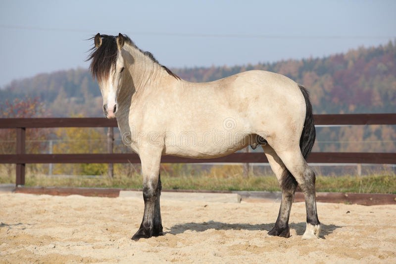 Amazing palomino welsh cob stallion with black hair. In autumn stock photography