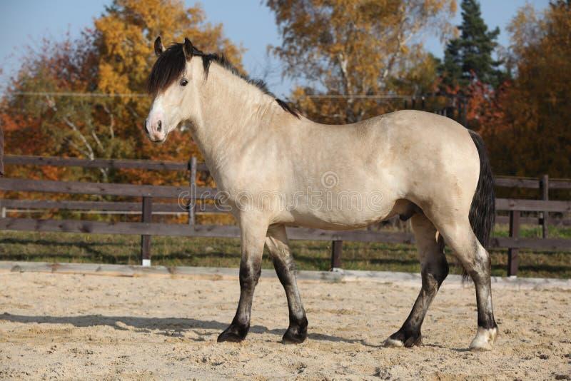 Amazing palomino welsh cob stallion with black hair stock photo