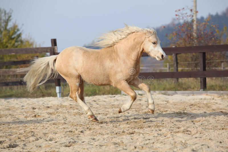 Amazing palomino welsh mountain pony running royalty free stock image