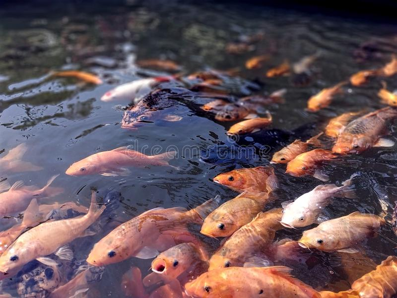 Colorful fishes at the pond in feeding frenzy royalty free stock image
