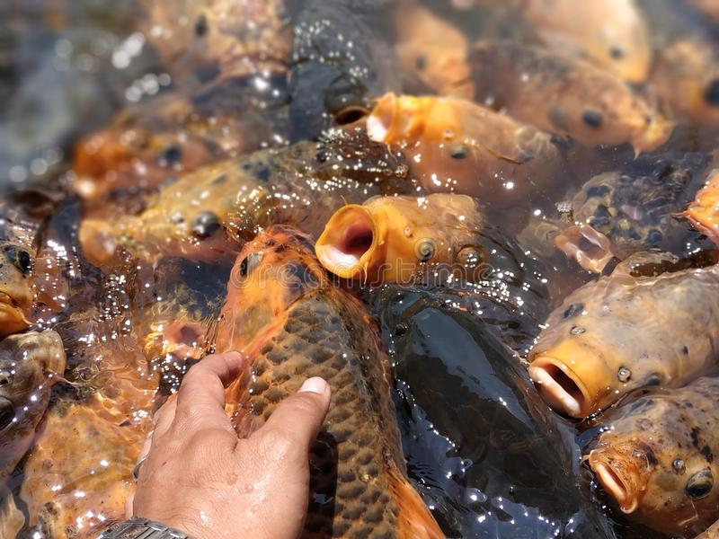 Colorful fishes at the pond in feeding frenzy stock image