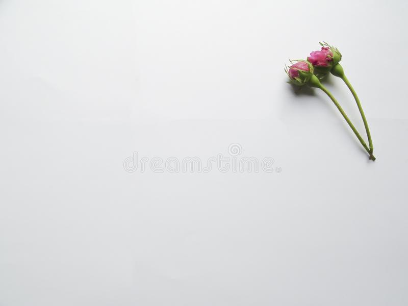 Amazing pink flower buds with white background. It can use for your background or royalty free stock images