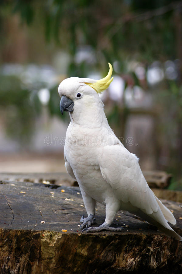 Amazing portrait of cockatoo royalty free stock photos