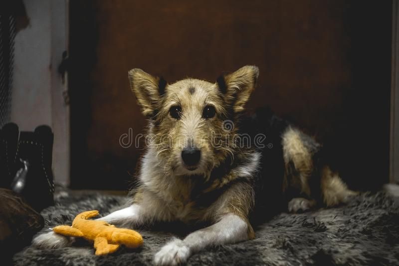Amazing portrait of the sitting dog on the carpet stock images