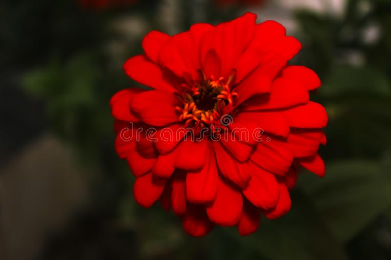 The amazing red flower in my house stock photo