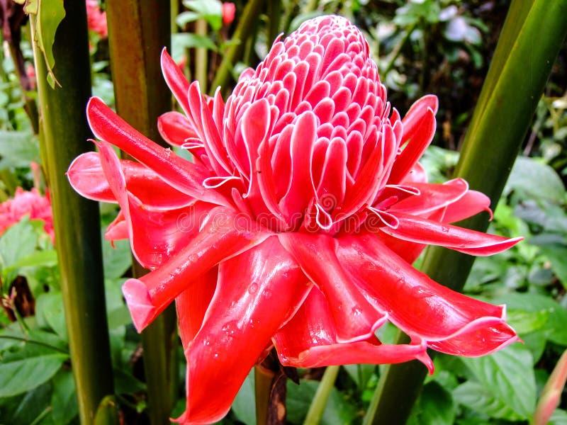 Amazing red Flower of the Philippines. Amazing red Flower in Bohol Island of the Philippines royalty free stock image
