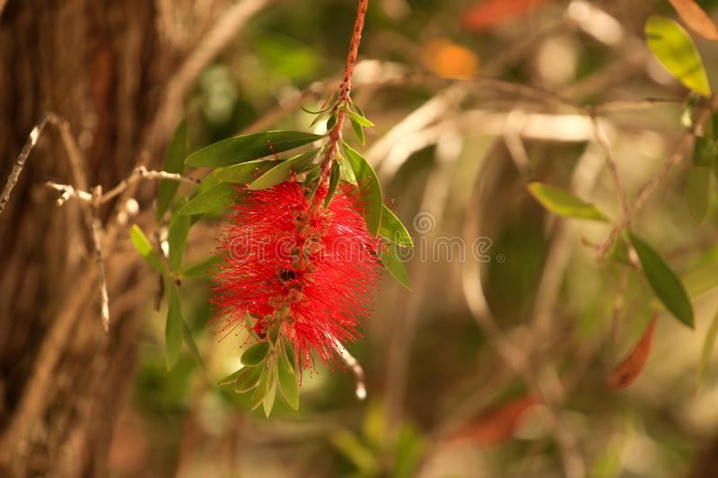 Amazing red flowers of The Bottle Brush tree Callistemon. The Bottle Brush tree Callistemon, belongs to the Myrtaceae family stock image