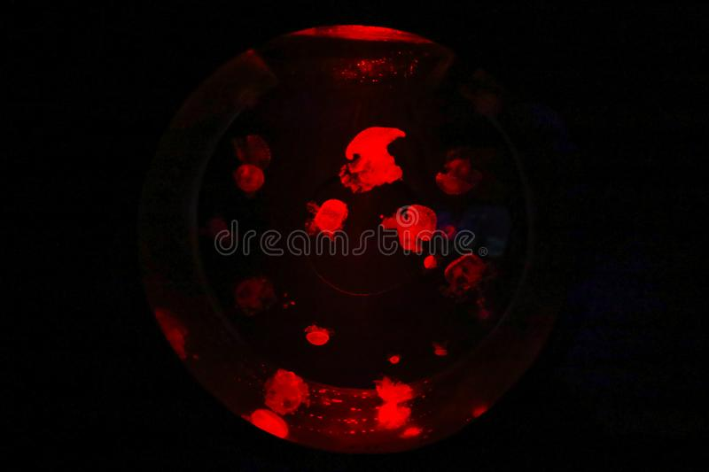 Amazing red jelly fish in a national aquarium of Malta in a round aquarium. On a black background royalty free stock image