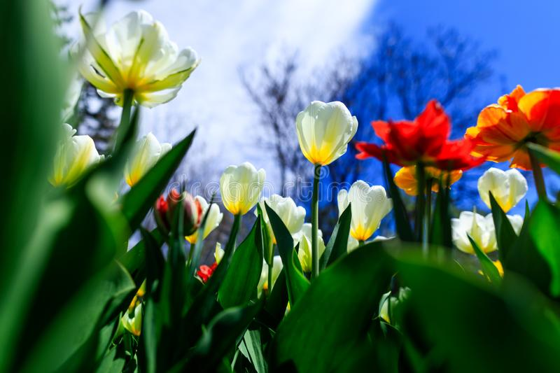 Amazing red, yellow, orange, red and white tulips, blooming in a garden. Colorful flowers in a bright spring day with lots of royalty free stock photography