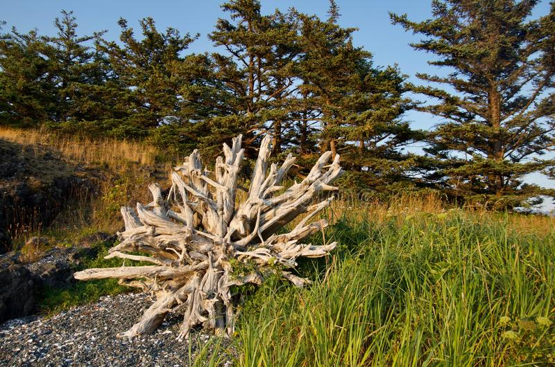 Amazing root ball of driftwood log framed by trees and beach grass in late evening light. Spring Island, British Columbia stock images