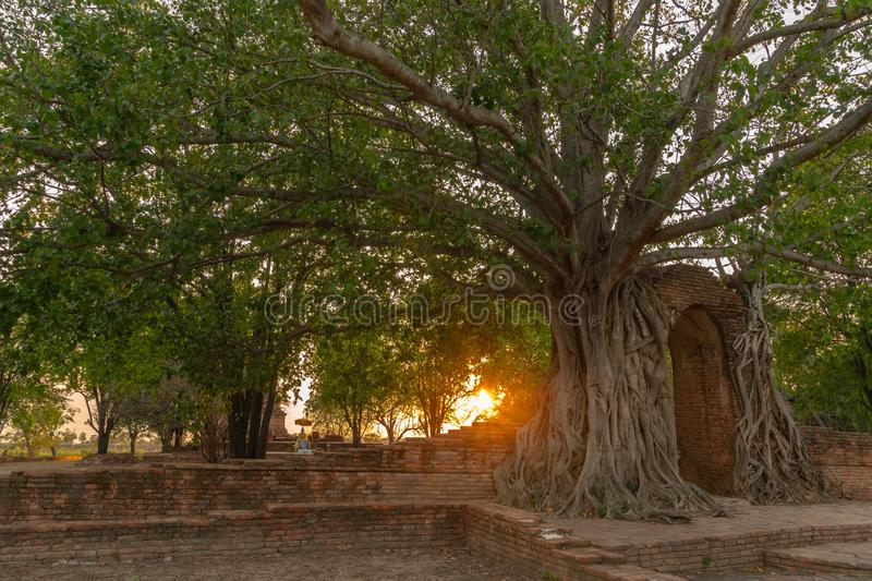 Amazing root of banyan tree hold the old ancient door for long time in Ayutthaya period royalty free stock photos