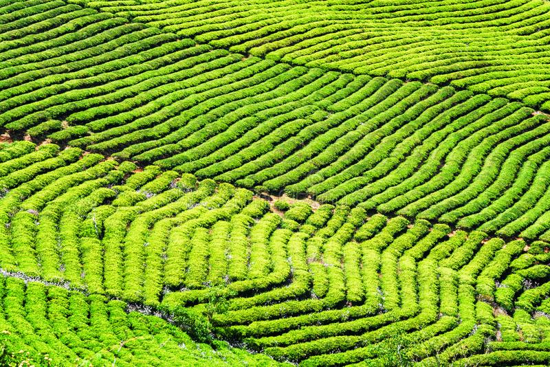Amazing rows of bright green tea bushes. Rural landscape royalty free stock image