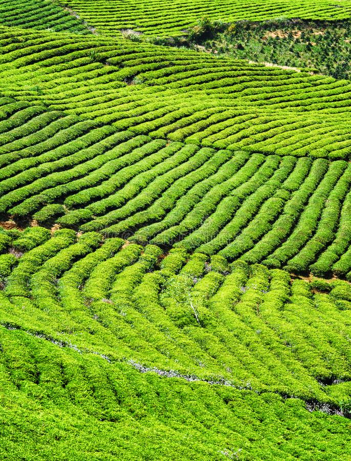 Amazing rows of young bright green tea bushes stock image