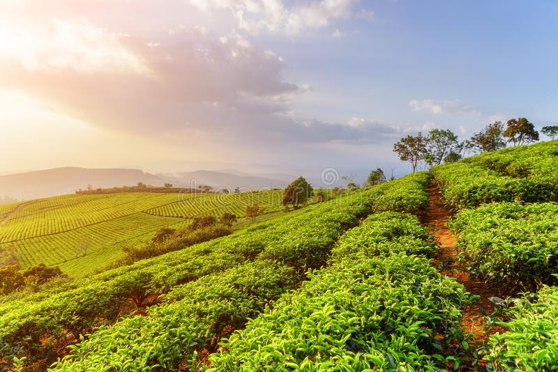 Amazing rows of young bright green tea bushes at sunset stock photos