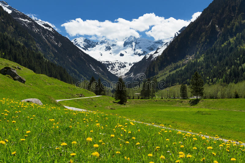 Amazing scenery of alpine valley in springtime with snow capped mountains under cloudy sky and lovely flowers in the foreground. Austria, Tyrol, Stilluptal stock photography