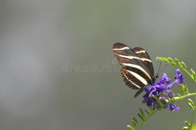 Amazing Scenic Image of Zebra Butterfly in the Spring stock photos