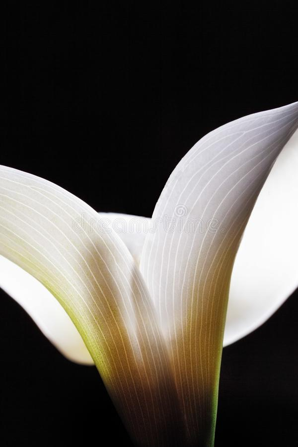 Amazing shapes of white Calla lily flower. royalty free stock images