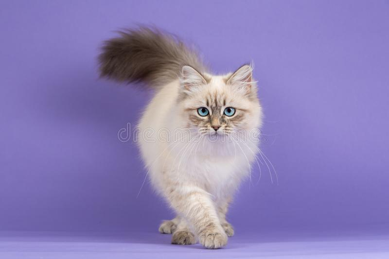 Amazing Siberian cat on purple. Beautiful grown up Siberian breed cat walking with furry paws on lilac background stock photo