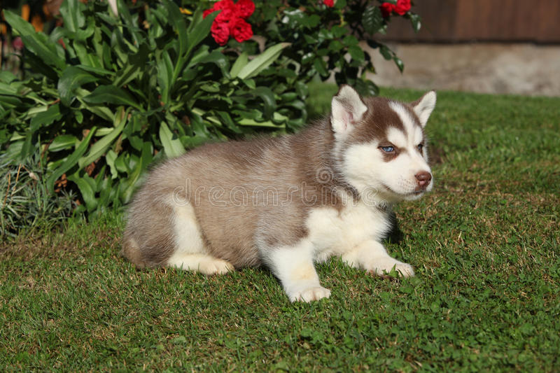 Amazing siberian husky lying in front of red flowers royalty free stock photography